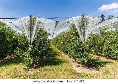 Apple plantation in Switzerland in July 2015.