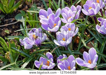 Crocuses beautiful snowdrops in spring. Crocuses in late winter