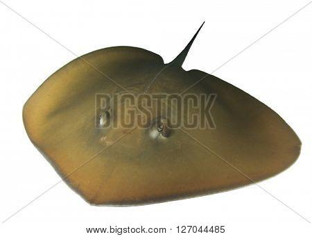 Stingray isolated on white background (Jenkin's Ray, live,underwater)
