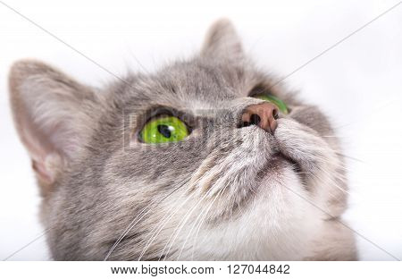 Muzzle of the gray cat looking up. White background close-up small depth of sharpness