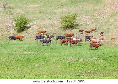 herd of cows on the green meadow