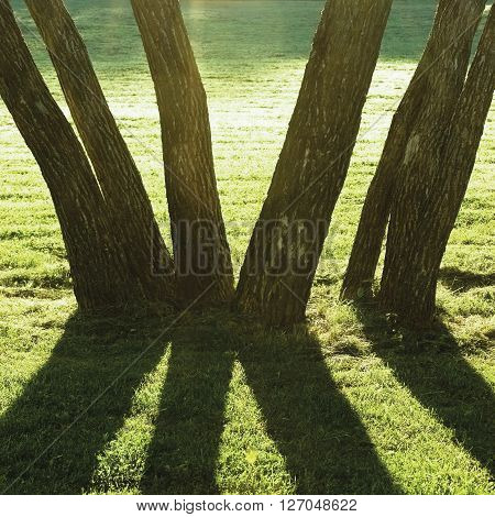Early Summer Morning Dawn Sunrise Shaded Backlit Park Trees Bright Parkland Lawn Large Vertical Trunks Closeup