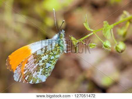 Orange Tip Butterflies hanging on the plant.Another name of that butterfly is Anthocharis Cardamines ,is a butterfly in the family Pieridae.