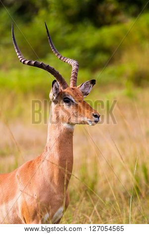 Large male African impala with big horns