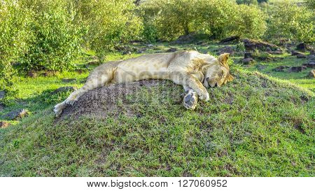 Lion Relaxes In Masai Mara National Park.