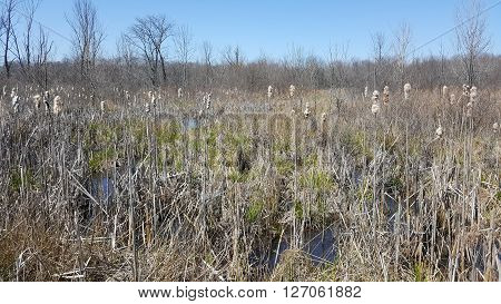 a marshy swamp with cat tails and reeds