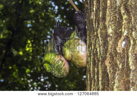 Giant Tree Snail, Acavus phoenix, Sinharaja Rain Forest National Park, Sinharaja Forest Reserve, Sri Lanka