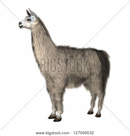 3D Illustration Lama On White