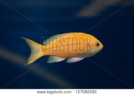 Sea goldie (Pseudanthias squamipinnis), also known as the lyretail anthias. Wild life animal.