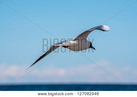 Black Headed Seagull Flying Away Over the Latvian Baltic Sea Coast