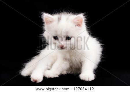 beautiful little white kitten sitting on a black background