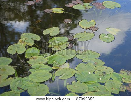 image of many nymphaea in japan garden