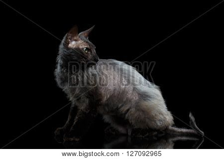 Furry Sphynx Cat with Green eyes Looking back Isolated on Black Background