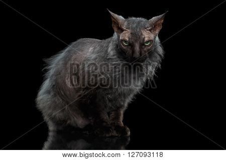 Werewolf Sphynx Cat Angry Looking in Camera Isolated on Black Background