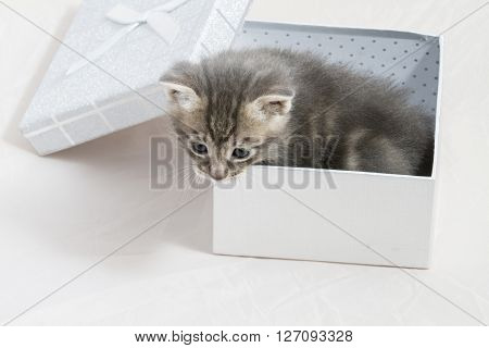 surprise, small kitten stuck in a gift box, cuddly animal sweet face