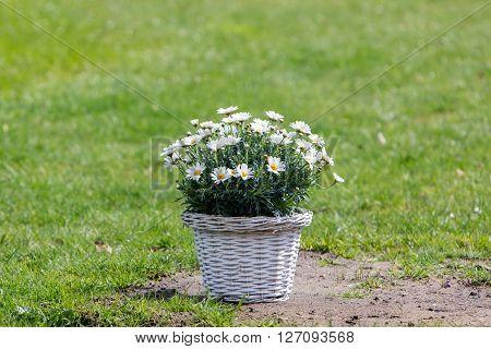 Bouquet Of Daisy Flowers In A Basket