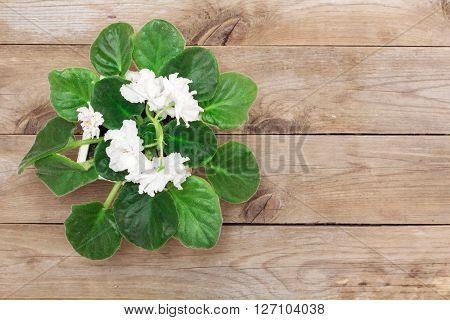 White viola flower on old boards flat lay
