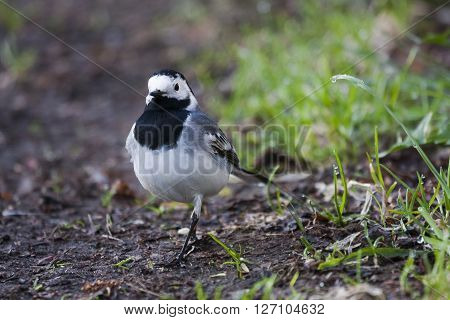 a white wagtail out for a stroll
