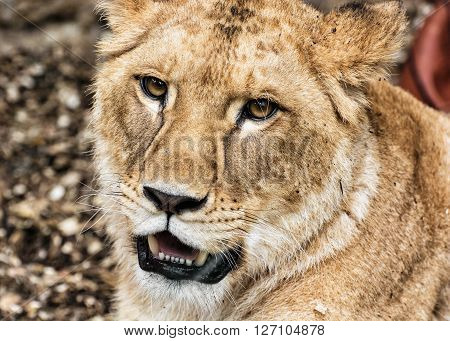 Portrait of a Barbary lion - Panthera leo leo. Animal portrait. Lioness closeup. Atlas lion. Critically endangered species.