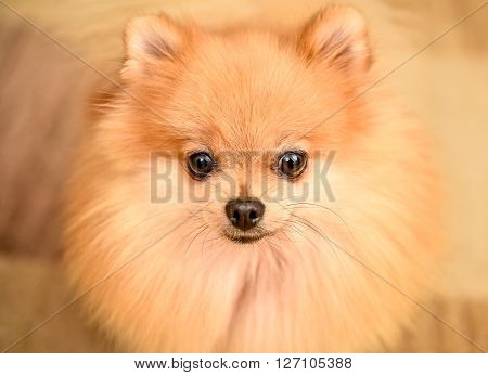 Cute Pomeranian Spitz Dog Puppy Sitting At Home Portrait.