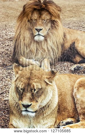 Couple of Barbary lions - Panthera leo leo. Male and female. Atlas lion. Critically endangered species.