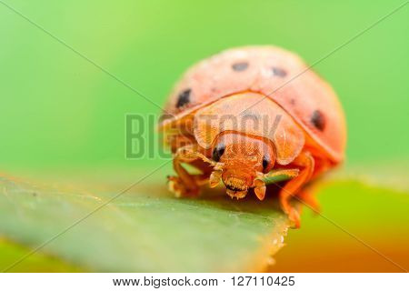Lady bug on leaves and green background