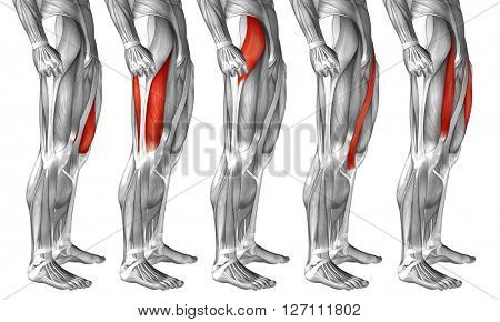 Concept or conceptual 3D human upper leg anatomy or anatomical and muscle set or collection isolated on white background