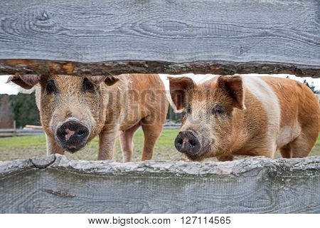 two pigs behind lattice fence red variegated husum pigs