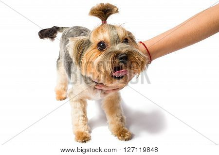 Little Yorkie playing with groomer's hand - isolated on white and with shadow on the floor