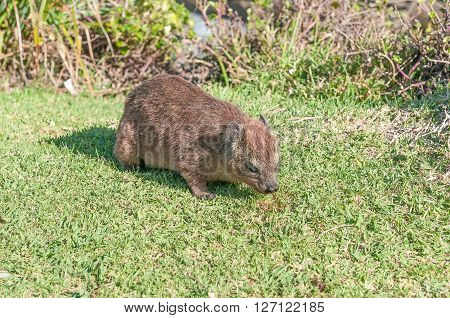 A young rock hyrax Procavia capensis grazing on grass
