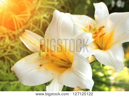 Beautiful white lilies with raindrops on petals on sunny background