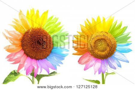 Two sunflowers with petals painted in different colors. Isolated on white background
