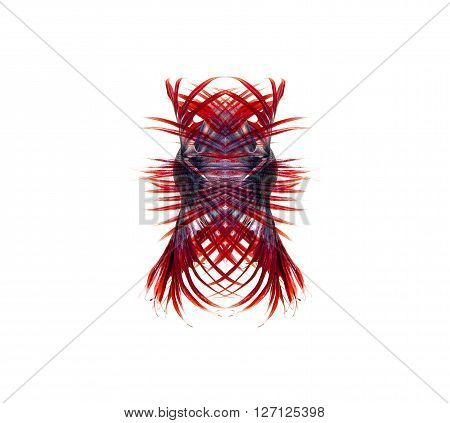 siamese fighting fish betta fish isolated on white background.