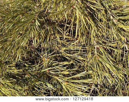 Conifer tree. Siberian pine. Russia. Background. Needles. Greenery. Nature. Plant.