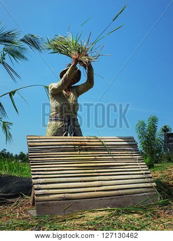 BALI INDONESIA - APRIL 2016: A female Balinese farmer harvests a crop of rice by flaying it by hand on April 24 2016 in Ubud Bali Indonesia.
