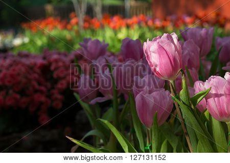 Pink Tulips Flower Blooming In Garden