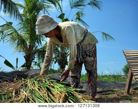BALI INDONESIA - APRIL 2016: A Balinese woman harvests a crop of rice on April 24 2016 in Ubud Bali Indonesia.
