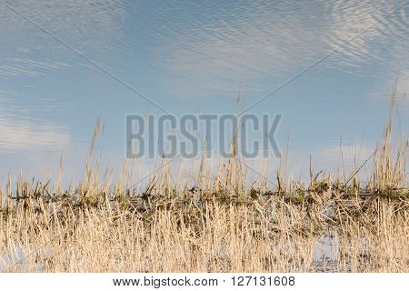 Reed And Cattail