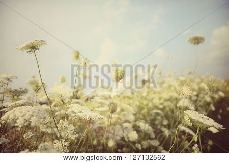 Field of Queen Anne's Lace, meadow wildflowers