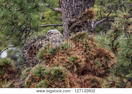 Great Horned Owlet in nest in spring rocky mountain national park
