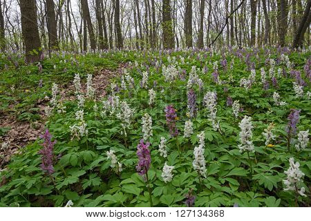 Springtime in deciduous forest. Blossom birthwort flowers create multicoloured flower-bed.