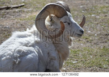 An adult bighorn sheep laying on the grass