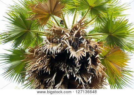 Top view sugar palm green and brown dry leaf