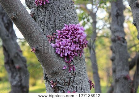 Pink flowers bloom on a tree trunk. Cercis.