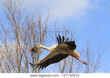 Stork building a nest spring bird in flight, material for nest
