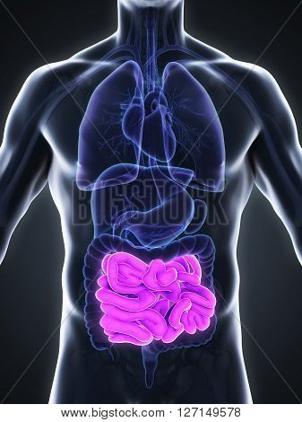 Human Small Intestine Anatomy Illustration. 3D render