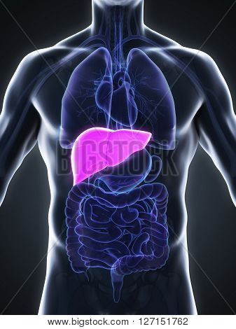 Human Liver Anatomy Illustration . 3D render