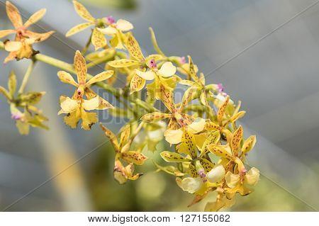 Yellow cymbidium Orchid , in the garden