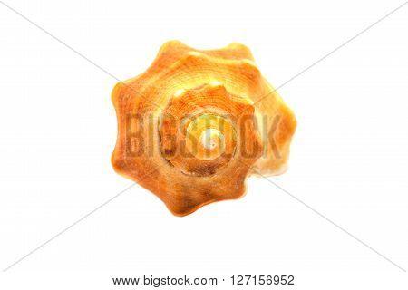A sea shellfish isolated on white background