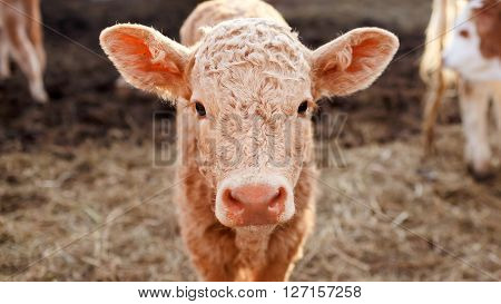 Brown calf in the corral close up, ears stick out.
